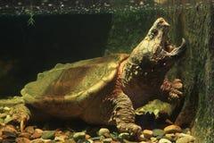 Tortue étant enclenchée d'alligator images stock