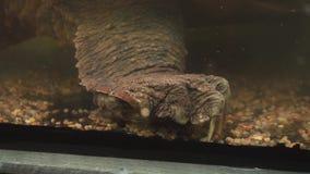 Tortue étant enclenchée d'alligator Patte massive d'un reptile avec de grandes griffes banque de vidéos