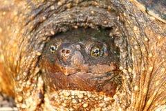 Tortue étant enclenchée (serpentina de Chelydra) Photographie stock