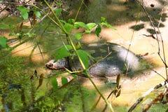 Tortue étant enclenchée (serpentina de Chelydra) Photos libres de droits