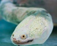 Tortue étranglée de serpent photo libre de droits