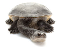tortue étranglée de serpent de roti d'île Photos stock