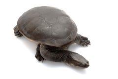 tortue étranglée de serpent de roti d'île Photos libres de droits