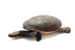 tortue étranglée de serpent de roti d'île Photographie stock