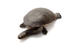 tortue étranglée de serpent de roti d'île Image libre de droits