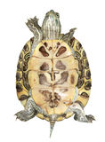 Tortue Photo stock