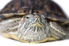 tortue Photographie stock libre de droits