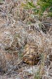 Tortue africaine de léopard se cachant sous l'herbe images stock