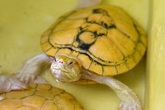 Tortue albinos Images stock