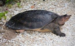 Tortue Apalone Ferox de Softshell pondant des oeufs le long de Monroe Junction Everglades Florida photos libres de droits