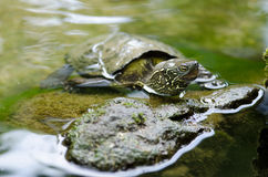 Tortue chinoise d'étang, reevesii de Mauremys Photos stock