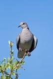 Tortue-colombe de cap étée perché sur la brindille Photos stock