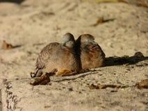 Tortue-colombe du Madagascar Photo stock