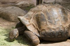 Tortue colossale Photos stock