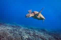 Tortue Coralscape Image libre de droits