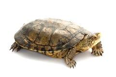 tortue d'étang occidentale photo stock
