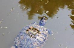 Tortue d'étang poussant sa tête en surface Image libre de droits