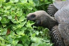 tortue d'île de Galapagos Image libre de droits