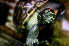 Tortue d'animal familier Images libres de droits