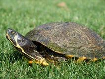 Tortue d'animal familier dans l'herbe image stock
