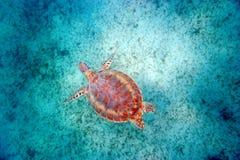 tortue d'interpréteur de commandes interactif de mer de Maui Images libres de droits