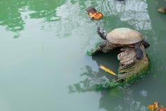 Tortue dans l'étang Photographie stock libre de droits