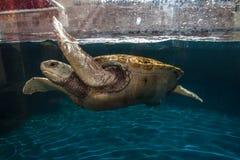 Tortue dans l'aquarium Cancun Photos libres de droits