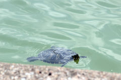 Tortue dans l'eau Photo stock