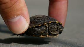 Tortue de bébé sur l'asphalte de ville Contact de doigt d'homme la coquille de la tortue banque de vidéos