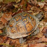 Tortue de cadre en Alabama Photo stock
