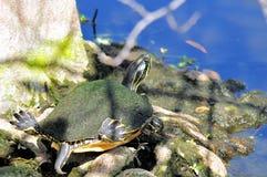 Tortue de Cooter de la Floride (Pseudemys) Photographie stock libre de droits