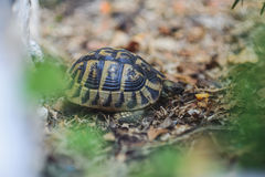 Tortue de cordon photo stock