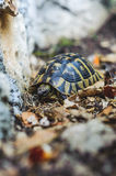 Tortue de cordon image stock