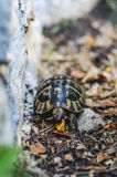 Tortue de cordon photo libre de droits