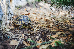 Tortue de cordon photographie stock libre de droits