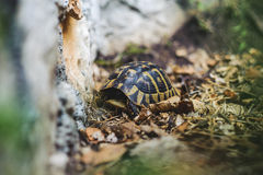 Tortue de cordon photos stock
