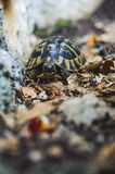 Tortue de cordon images libres de droits
