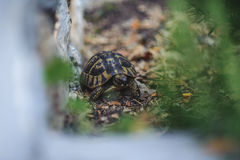 Tortue de cordon photos libres de droits