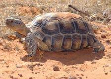 Tortue de désert, agassizii de Gopherus photos libres de droits