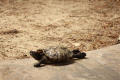 Tortue de farniente Images stock