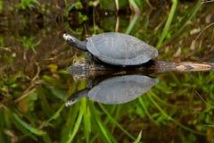 Tortue de fleuve d'Amazone sur son habitat normal Image libre de droits