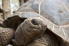 Tortue de géant des Seychelles Photographie stock libre de droits