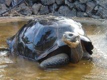 Tortue de Galapagos au centre de Darwin photo libre de droits