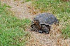 Tortue de Galapagos de géant mangeant l'herbe dans son habitat naturel photos stock