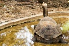 Tortue de Galapagos - George seul image libre de droits
