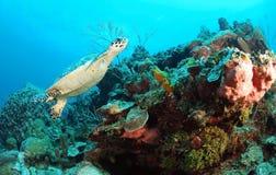 Tortue de Hawksbill sous-marine Photographie stock libre de droits
