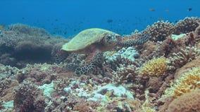 Tortue de Hawksbill sur un récif coralien Photo libre de droits
