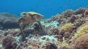 Tortue de Hawksbill sur un récif coralien Photographie stock libre de droits