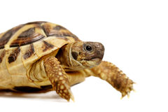 Tortue de Herman Images stock