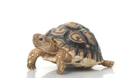 tortue de léopard Photo libre de droits